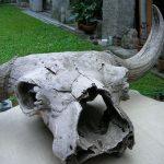 Bison priscus Bojanus lobanja stepskog bizona pleistocen ušće Morave u Dunav